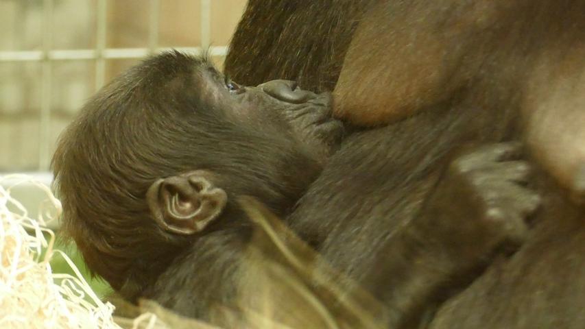 FOTO: Ramona Such / Tiergarten Nürnberg, überm. v. ramona.such@gmail.com, gesp. 04/2020... MOTIV: Gorilla-Baby, Gorilla, Nachwuchs...Gorillababy Kato..