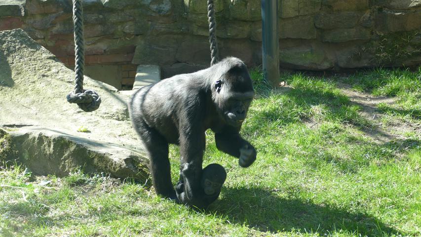 FOTO: Ramona Such / Tiergarten Nürnberg, gesp. 04/2020.MOTIV: Gorilla-Baby, Gorilla, Nachwuchs..Gorillababy Kato..
