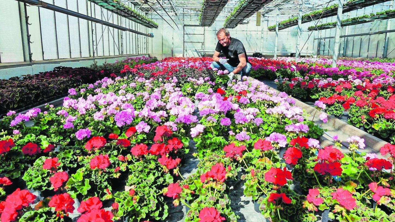 Vorbereitung auf die voraussichtliche Kundenschlange am Montag, 20. April: Der Herzogenauracher Gärtnermeister Peter Gauch im Gewächshaus mit den Geranien. Die Umsetzung von Abstandsregeln und Hygieneauflagen fordert die Betriebe zusätzlich während der Wachstumsphase der Blühpflanzen.