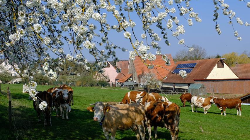 Nicht aus dem Allgäu stammt diese Aufnahme der Kirschblüte mit der Rinderherde. In Hagsbronn, dem Spalter Ortsteil, Hiefn im Volksmund genannt, fühlen sich diese Weiderinder trotz Ausgangsbeschränkung sichtlich wohl. Das Foto schickte uns unser Leser Helmut Walter.