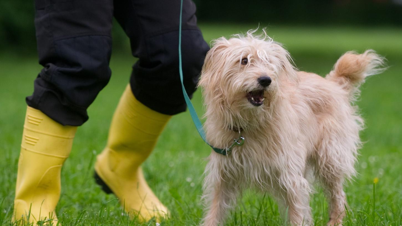 In Niedersachsen gilt bereits die Pflicht zum Hundeführerschein, in Bayern kann man die Prüfung freiwillig ablegen.