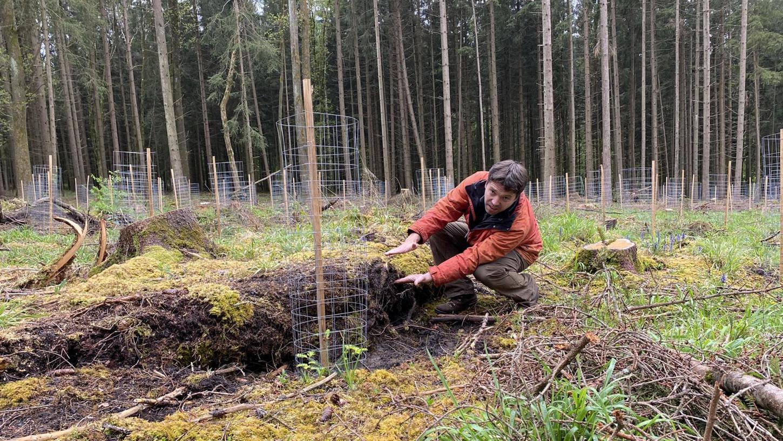 Die Fichten im Hartwald sind für Stürme ein leichtes Opfer. Forstexperte Fabian Röhnisch zeigt, dass die Wurzeln nur oberflächlich im Boden verankert sind. Bei starken Winden fehlt den Bäumen somit die nötige Standfestigkeit.