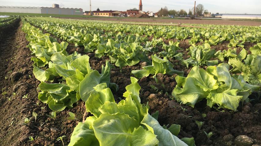 Unzählige grüne, junge Salatpflanzen säumen die Felder auf dem Weg ins Knoblauchsland.