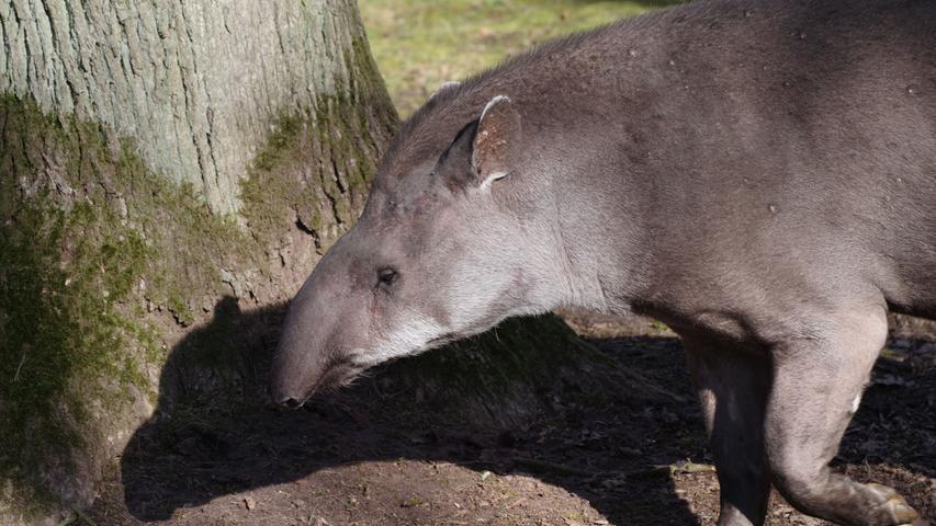 Die Flachlandtapir-Dame wurdeam 11. Mai 2020 eingeschläfert, da ihr unter anderem ihre Arthrose zu schaffen machte. Mit 38 Jahren war Daisy der mit Abstand älteste Flachlandtapir in europäischen Zoos. Bereits seit 1982 war sie im Tiergarten Nürnberg zuhause, zog dort zehn Jungtiere auf.