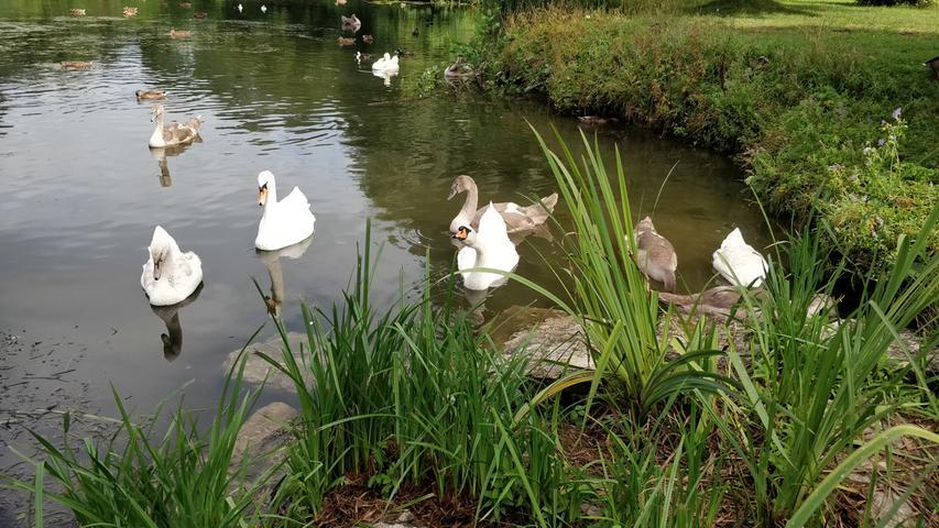 Rund um den Altmühlsee fühlen sich Wasservögel aller Art mit ihrem Nachwuchs wohl.