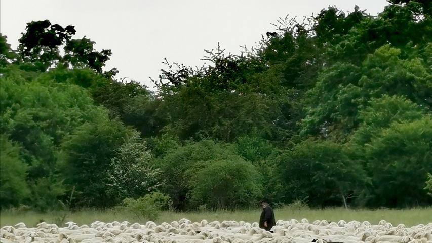 Frisch geschoren dürfen die Schafe im Mai in der Fränkischen grasen.