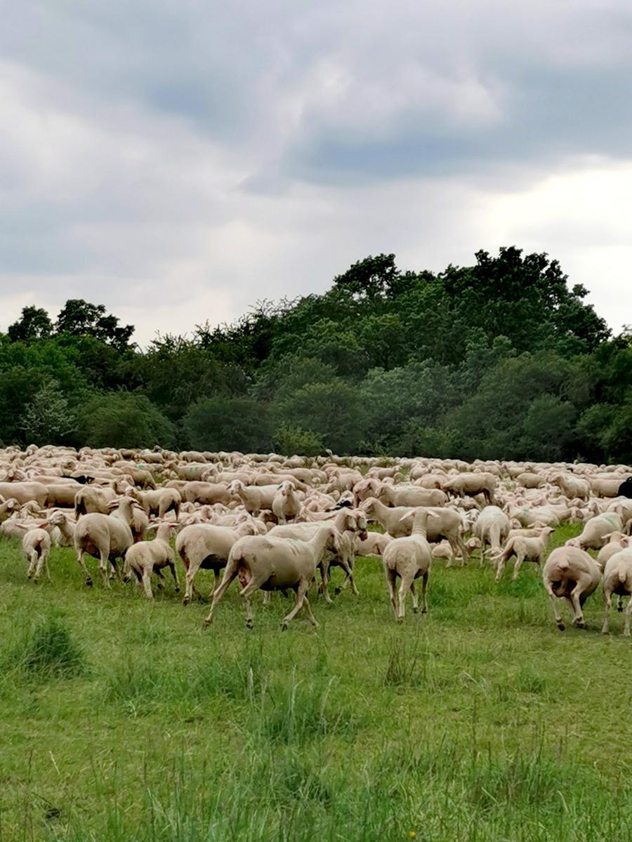 Schaf müsste man sein, vor allem im Landkreis Forchheim.