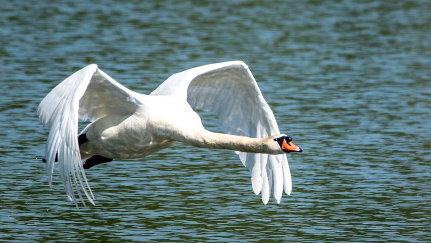 Normalerweise sieht man Schwäne majestätisch über das Wasser gleiten. Doch wenn sich ein Exemplar dranmacht, abzuheben - wie hier am Altmühlsee -, das ist schon wirklich beeindruckend und erst dann wird einem gewahr, wie groß diese Vögel eigentlich sind.