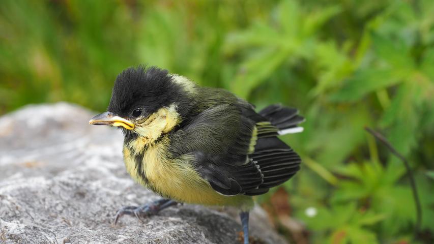 Das mit dem Fliegen klappt noch nicht so richtig, aber Hauptsache mal über den Rand des Nests hinausgekommen: Der Meisennachwuchs wird langsam flügge und dieser Jungvogel geriet in Merkendorf Heinrich Förthner vor die Linse.