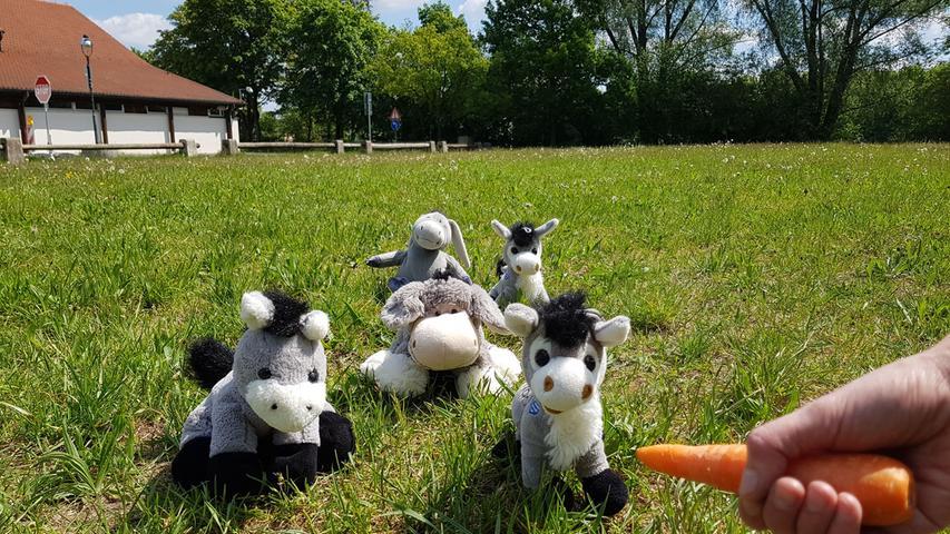 Das Gras auf der Wiese hinter der kleinen Jurahalle darf heuer ungestört wachsen. Denn am Sonntag wird es hier kein Eselrennen geben. Und auch im August auch keine Pferdeschau. Als kleiner Ersatz haben wir eine Horde Plüschesel über das Feld getrieben.