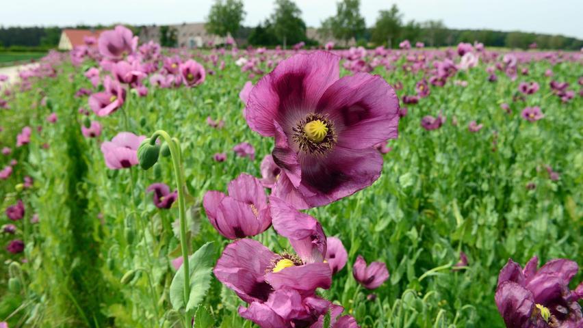 Ein violettes Blütenmeer begeistertim Sommer die Spaziergänger am Cadolzburger Pleikershof. Für den wunderbaren Blickfang sorgtder fränkische Blaumohn.