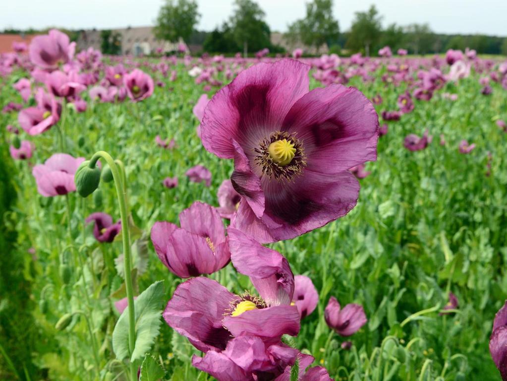 Ein violettes Blütenmeer begeisterte die Spaziergänger  am Cadolzburger Pleikershof. Für den wunderbaren Blickfang sorgte der fränkische Blaumohn.