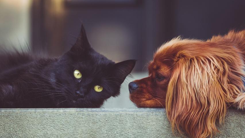 Den Bundesländern liegt eine Verordnung zur Corona-Meldepflicht bei Haustieren vor. Die Meldepflicht soll im Juli kommen und Tierärzteverpflichten, es zu melden, wenn sie Tiere positiv auf das Coronavirus getestet haben.