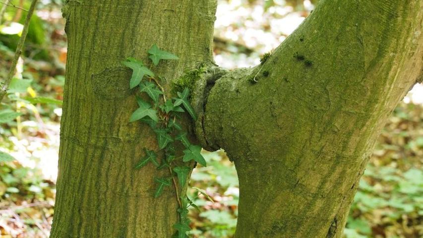 """""""Der Kuss"""" von Gustav Klimt, neu interpretiert?, fragten die NN-Leser Barbara und Wolfgang Eichhorn mit einem Augenzwinkern, als sie dieses Bild an die Redaktion sendeten. Es entstand bei einer Wanderung im Hetzelsdorfer Wald. Zumindest jede Menge Naturliebe antworten wir ihnen auf diesem Weg und danken für die """"Kunst in Grün""""."""