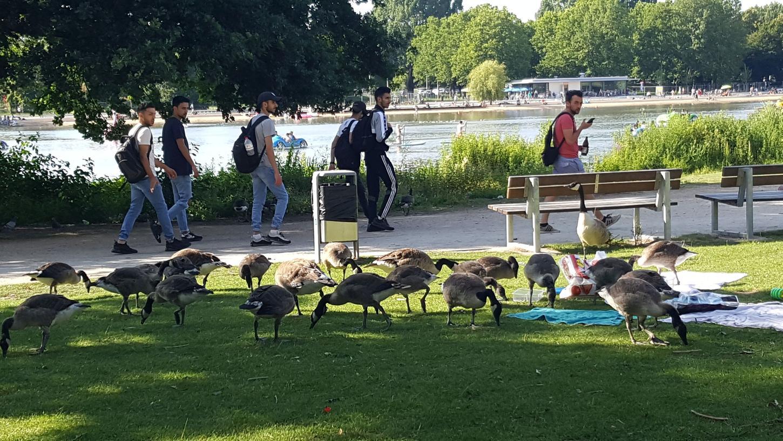 Auf der Suche nach Futter sehen sich die Gänse auch ungeniert auf den Handtüchern und in den Picknick-Behältern von See-Besuchern um.
