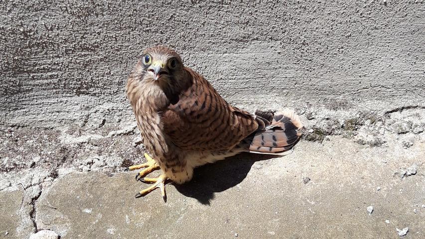 Dieses kleine Falkenbaby hat NN-Leser Klaus Wiegärtner in Gräfenberg fotografiert. Es war aus dem Nest gefallen und hilflos auf dem Bodens gesessen. Als er es mit einer Decke gefangen hatte und ins Nest zurückbringen wollte, konnte es plötzlich fliegen. Nun kann es seine Freiheit genießen.