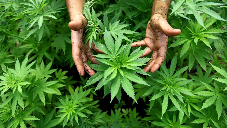 Eine Plantage mit Cannabis: Zu den Bestandteilen der Pflanze gehört dieals Rauschmittel genutzte Substanz Tetrahydrocannabinol(THC) sowie das aktuell sehr gefragte Cannabidiol (CBD).