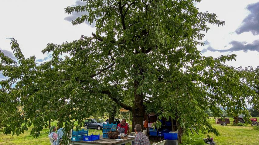 Kirschbauer Walter Gemmel wartet schon auf seine Gäste, um ihnen alles über seine rund 60 Kirschbäume und die 15 verschiedenen Sorten zu erzählen, die in seinem Garten wachsen.