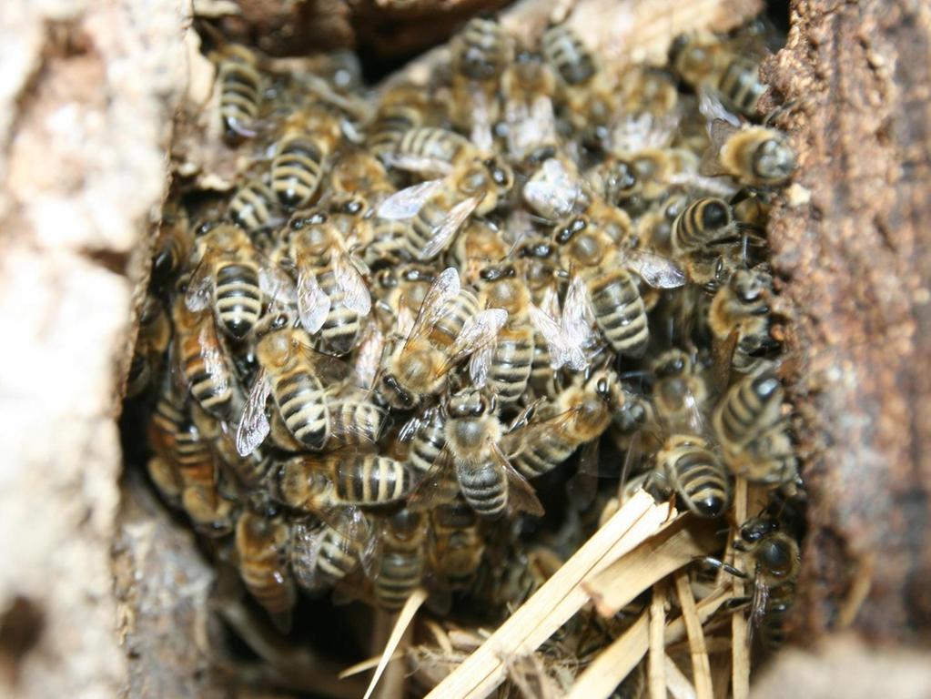 Dicht gedrängt sitzen die Bienen als Traube zusammen: In einem großen Riss im Baumstamm haben sie Unterschlupf gefunden.