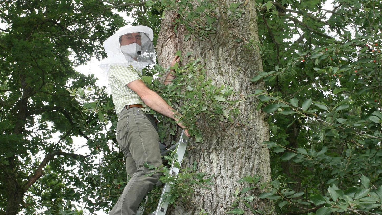 Wolfgang Schwarz ist auf die Leiter gestiegen, um eins der Naturvölker von Honigbienen zu beobachten, dass er in einer Eiche entdeckt hat.