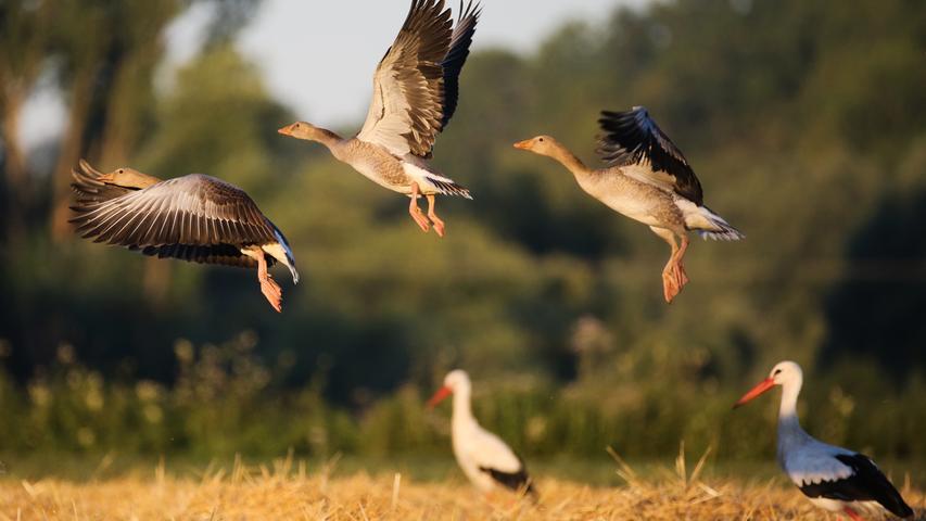 Anders als oft behauptet, sind Störche stimmlos – vor allem der Weißstorch. Zwar gibt der Storch hin und wieder krächzende oder quiekende Laute von sich, doch ist er viel bekannter für sein Schnabelklappern. Daher kommt auch der Spitzname Klapperstorch.