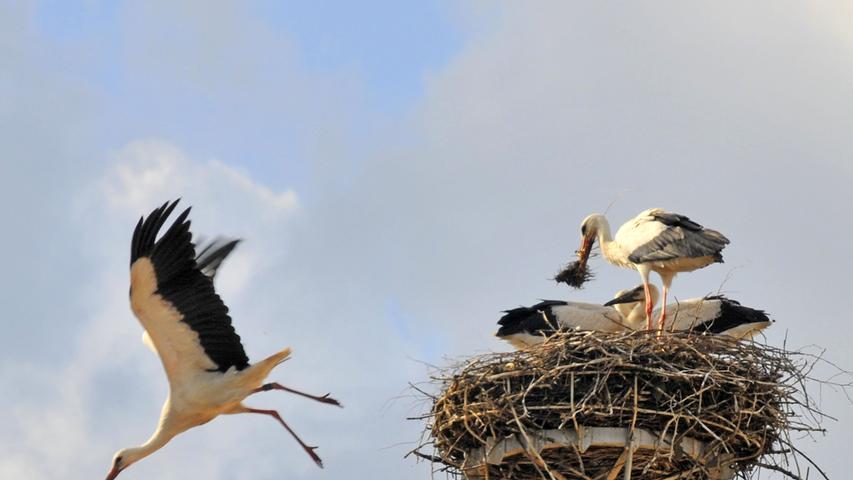 Störche legen meistens drei bis fünf Eier. Diese sind je nach Art zwischen 5,5 cm und 8,5 cm groß und wiegen zwischen 58 und 146 Gramm. Beide Storchenpartner brüten die Eier zwischen 25 und 38 Tagen aus. Sind die Jungen geschlüpft, tragen sie ein weißes Daunenkleid. Auch für die Nahrungsbeschaffung sind beide Partner gleichermaßen zuständig, bis die Jungstörche nach 50 bis 100 Tagen flügge werden.