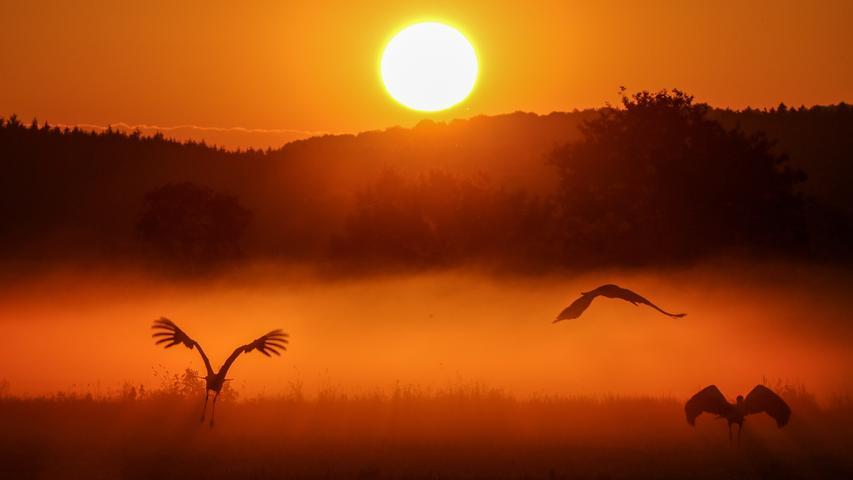 Die meisten Störche sind keine Zugvögel und verbringen das ganze Jahr im Umkreis weniger Kilometer. Der hier lebende Weißstorch nimmt jedoch jeden Herbst eine Strecke von bis zu 20.000 Kilometern auf sich – bis nach Afrika. Über zwei verschiedenen Routen - entweder über Gibraltar oder über den Bosporus - gelangen die Vögel auf den benachbarten Kontinent.