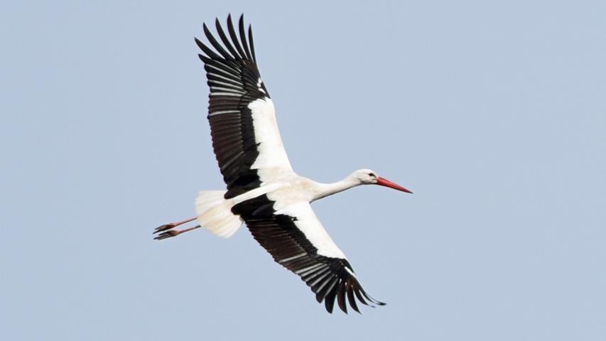 Je nach Art variiert die Größe zwischen 75 und 150 Zentimetern. Ein ausgewachsener Storch kann dabei bis zu 9 Kilogramm wiegen. Kennzeichnend sind die langen Beine, der lange Hals sowie ein langer Schnabel, während der Schwanz sehr kurz ist. Das Gefieder besteht aus Schwarz- und Weißtönen, das je nach Art unterschiedlich verteilt ist.