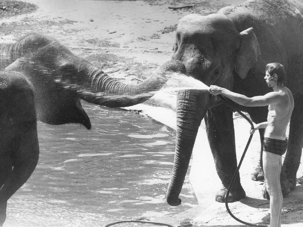Foto: Hans Kammler Datum: veröff. in den NN vom 6.7.1973..1970er Jahre, historisch..Motiv: Hitze ist für Zooinsassen kein Probelm..Unter der Affenhitze der letzten Tage mögen vielleicht die Menschen stöhnen. Schwieriger als bei den Affen ist die Abkühlungs- und Reinigungsprozedur bei den Elefanten. Mit einem gut funktionierenden Gartenschlauch läßt scih allerdings auch dieses Problem lösen...Symbolbild; Hitze; Sommer; Tiere; Tiergarten; Abkühlung;