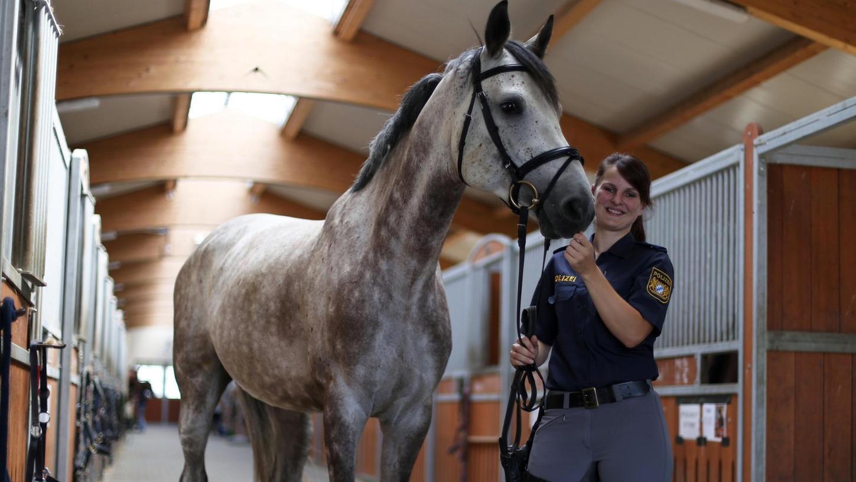 Sehr sensibel ist er — und noch zu schreckhaft, sagt seine Ausbilderin Lisa Kreitzer: Nathan, ein siebenjähriger Holsteiner, steht mit zehn anderen Polizeipferden in einem Stall im Knoblauchsland. An fünf Tagen die Woche stehen Lektionen auf dem Programm.