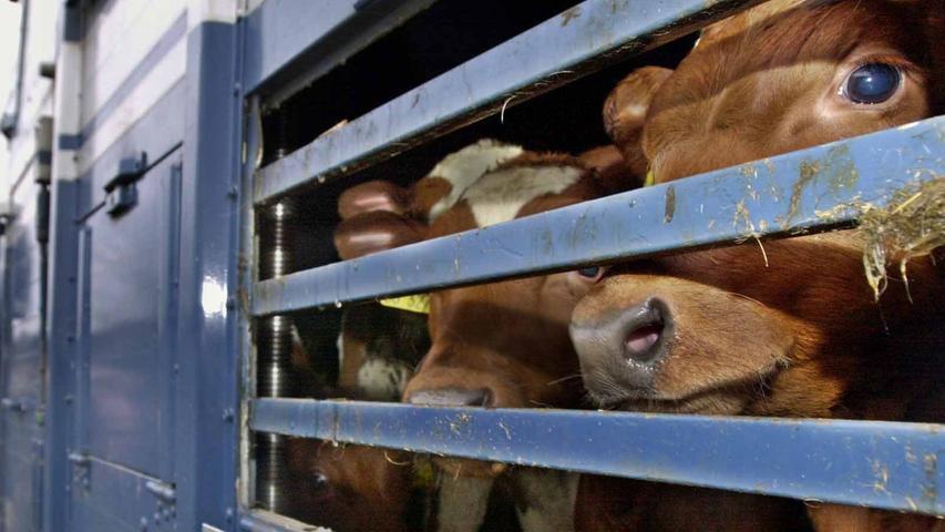 Weitaus häufiger noch als Pferde, Ziegen, Schafe oder Lämmer werden in Bayern natürlich Rinder geschlachtet. Insgesamt waren es 933.979 Tiere im Jahr 2019, die Schlachtmenge summierte sich auf 326.533 Tonnen. In der Statistik werden aber nicht nur einfach