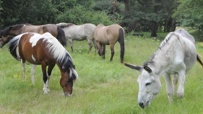So schmeckt der Urlaub: Die vier Pferde und der Esel beginnen sofort, die Annehmlichkeiten der Vollpension im BN-Biotop zu genießen.