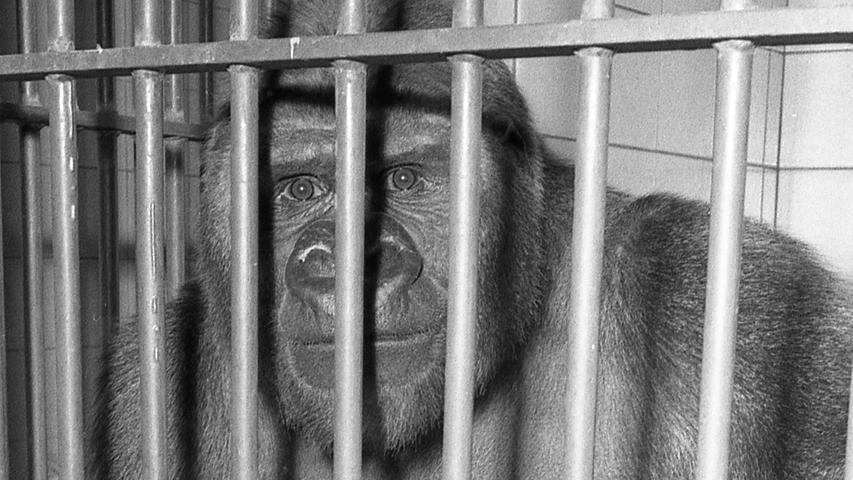 """Nach 20 Jahren beklagt der Tiergarten den ersten, dafür aber um so schmerzlicheren Verlust unter den Menschenaffen. Der zehnjährige Gorilla """"Schorsch"""" – 1963 als Vierjähriger für 25 000 Mark gekauft – ist überraschend eingegangen. Hier geht es zum Artikel vom5. August 1970:"""