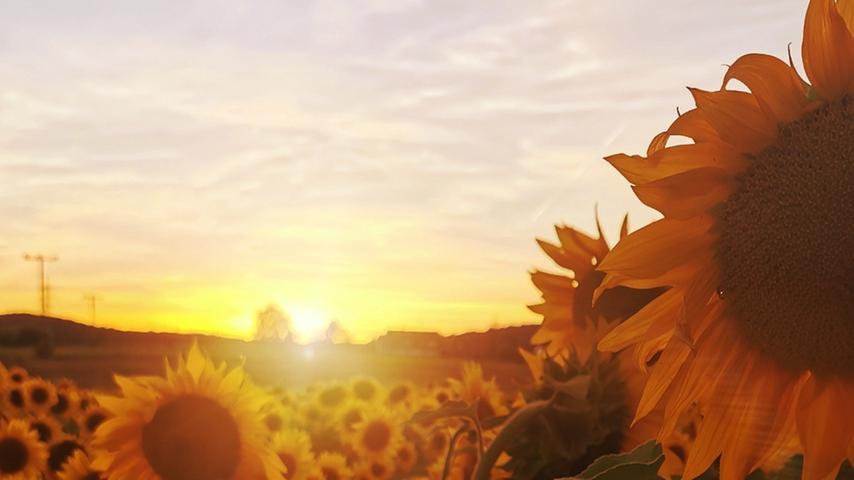 Diesen Traum von einem Sonnenblumenfeld bei Sonnenuntergang hat uns NN-Lesering Silvia Nützel geschickt.
