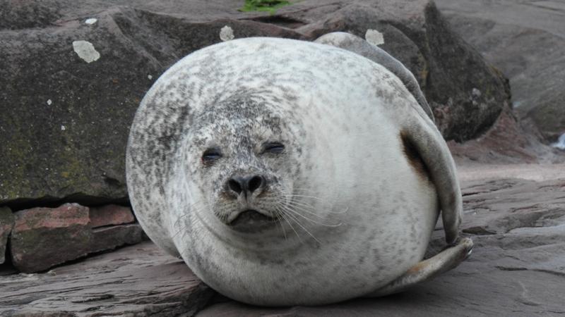 Der Seehund kommt auf der Nordhalbkugel imAtlantikundPazifikvor. Er bevorzugt Küsten mit trockenenSandbänken. Man findet ihn aber auch an geschützten Felsküsten. Wasserverschmutzung und mangelnde Nahrung durch Überfischung sowie Prämienjagd haben die Bestände auf ein bedrohliches Tief dezimiert. In Nürnberg leben zwei Seehunddamen: Nele und Olivia.