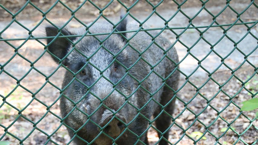 Derzeit sind auf dem Muna-Areal als Gäste vor allem Wildschweine zuhause. Die Tiere haben sich in dem seit Jahrzehnten für die Öffentlichkeit gesperrten Bereich prächtig entwickelt und werden von Urlaubern gefüttert.