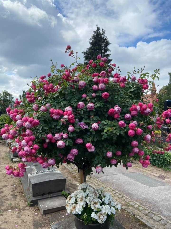 Der Johannisfriedhof zur Rosenzeit ist ein Highlight.
