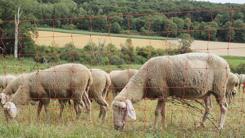 Dafür waren Schafe unterwegs und haben den Rasen bearbeitet.
