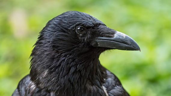 Tote Krähen auf Acker: Tierquälerei oder Abschreckung?