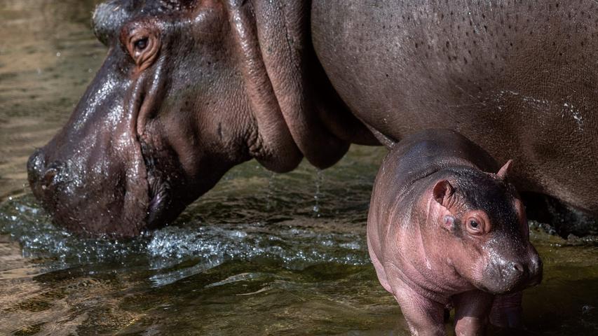 Im Zoo von Turin hat ein Flusspferdbaby das Licht der Welt erblickt. Noch ist es ein bisschen wackelig auf den Beinen, aber wenn die Mama in der Nähe ist, fühlt sich das 50 Kilogramm schwere Jungtier offenbar doch schon einigermaßen sicher.