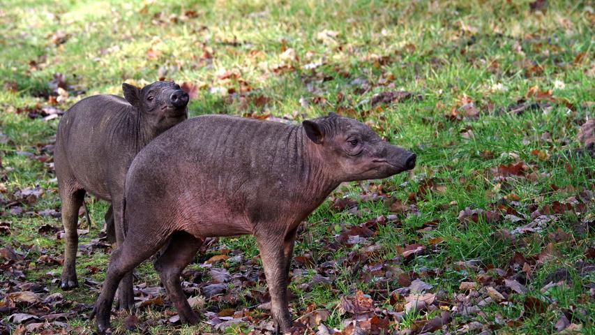Das Hirscheberpaar Tolo und Nambo starb Ende Juli 2020 an den Folgen einer bakteriellen Infektion. Besonders tragisch: Weibchen Nambo war mit Zwillingen schwanger. Die beiden Hirscheber waren erst im Oktober 2019 in den Nürnberger Tiergarten gekommen.