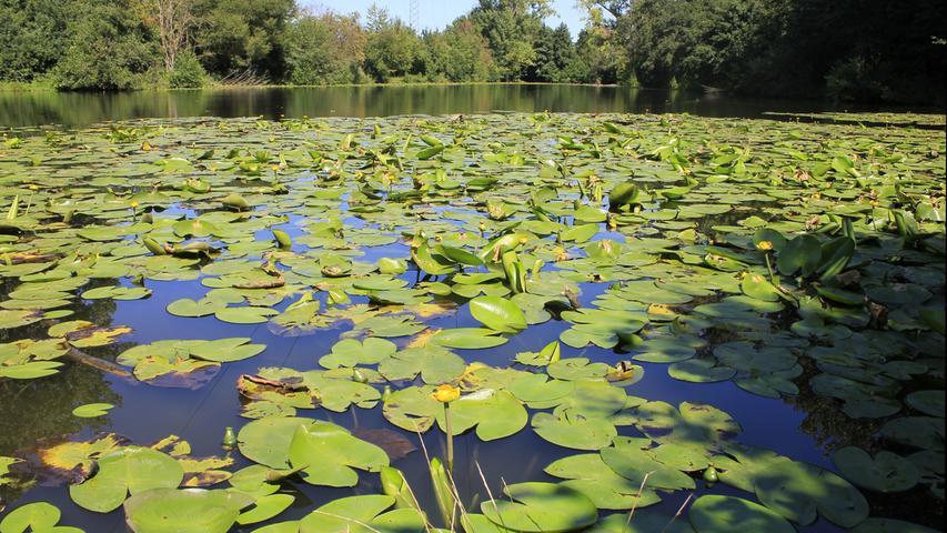 Gleich auf der anderen Flussseite findet man den Waldmannsweiher. Anfang der 1950er lernten hier viele Fürther das Schwimmen, offizielle Badeanlagen befanden sich am Ufer.