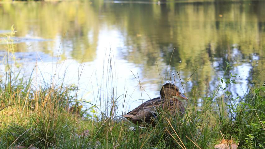 Heute ist er einfach ein idyllisches, von Enten und Seerosen bevölkertes Gewässer.