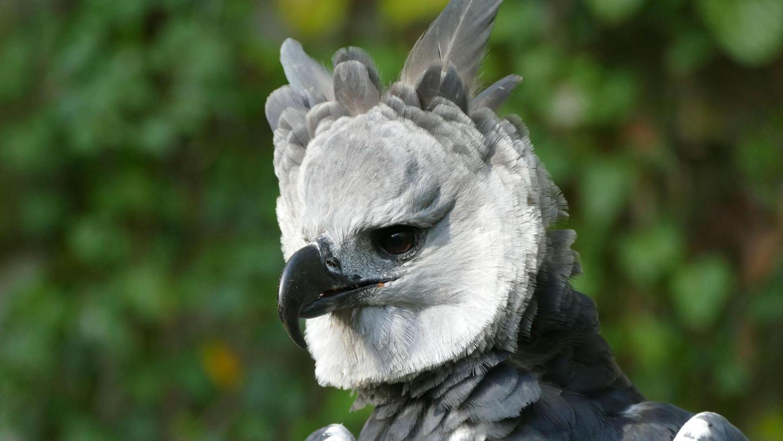 Harpyien sind die mächtigsten Greifvögel der Welt und können bis zu neun Kilogramm schwer werden. Sie leben auf hohen Urwaldbäumen, ihr Lebensraum ist bedroht. Hier ist ein Exemplar aus dem Tiergarten Nürnberg zu sehen.