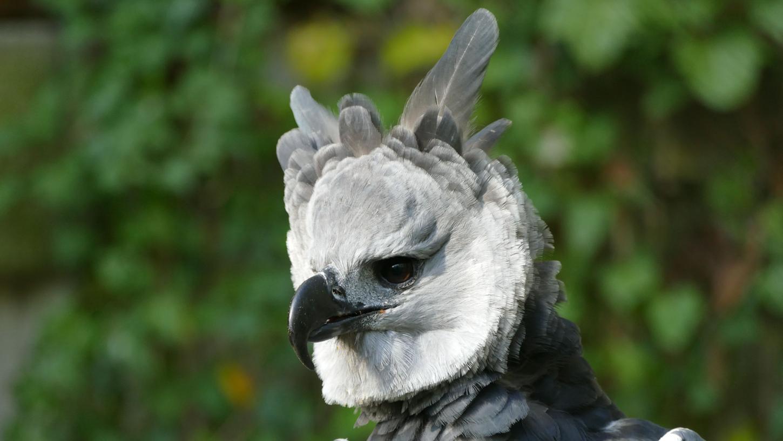 Eine Harpyie im Tiergarten Nürnberg (es handelt sich hierbei nicht um den jetzt nach Ecuador abgegebenen Vito).