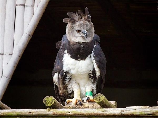 Die Harpyie Olafa im Zoo Parque Condor in Ecuador.