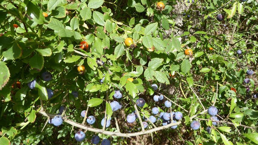 Bei einer kleinen Wanderung in der fränkischen Schweiz sind Getraut Hörrmann diese farbenprächtigen Wildfrüchte vor die Linse gekommen.