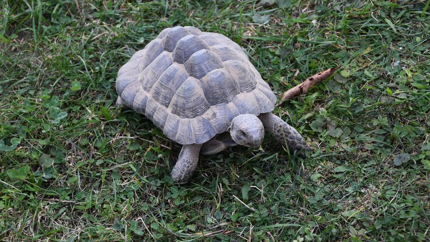 Klein, aber fein: Schildkröten haben eine enorm hohe Lebenserwartung und können uns Menschen überleben. Ottmar Brunner sagt deshalb immer zu Kindern, die sich eine Schildkröte anschaffen wollen:
