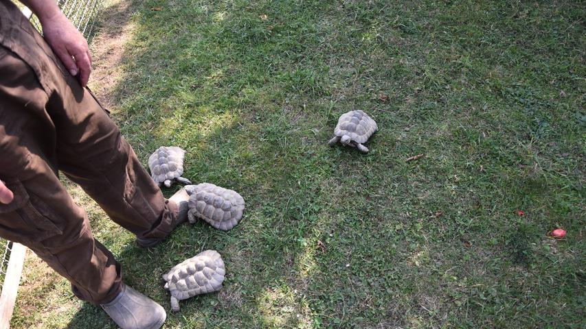 Die kleinen Schildkröten