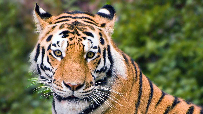 Im New Yorker Bronx Zoo hat sich eine Tigerkatze mit dem Coronavirus infiziert. (Symbolbild)
